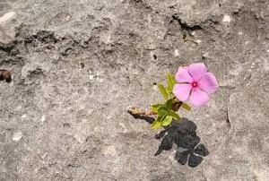 Rock Flower - Pink