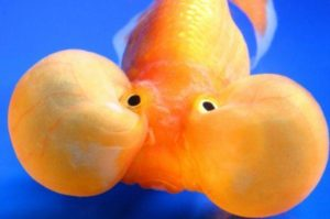 bubble_gold_fish_breathing