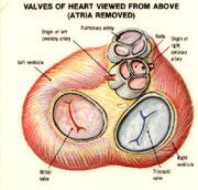 heart41