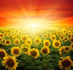 sun shining on sunflowers